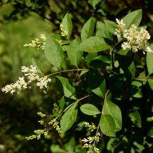 Photographie n°2205465 du taxon Ligustrum vulgare L. [1753]