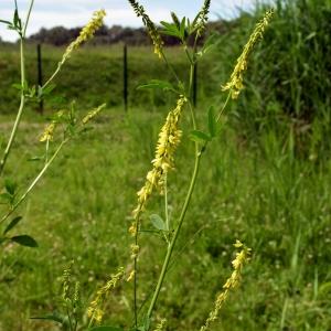 Photographie n°2205477 du taxon Trigonella officinalis (L.) Coulot & Rabaute [2013]