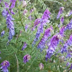 Photographie n°2205573 du taxon Vicia cracca L. [1753]