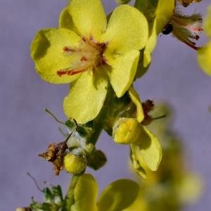 Photographie n°2205664 du taxon Verbascum pulverulentum Vill.