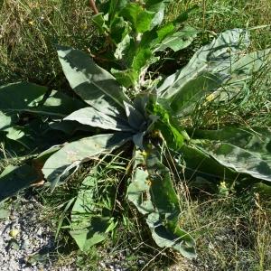 Photographie n°2205665 du taxon Verbascum pulverulentum Vill.