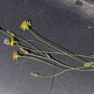 Photographie n°2205989 du taxon Crepis sancta (L.) Bornm. [1913]