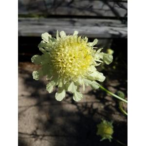 Scabiosa ochroleuca L. (Scabieuse jaune pâle)