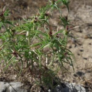 Photographie n°2206557 du taxon Centaurea calcitrapa L. [1753]