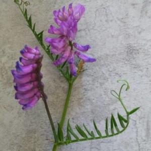 Photographie n°2206618 du taxon Vicia cracca L. [1753]