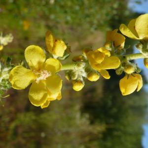 Photographie n°2206848 du taxon Verbascum pulverulentum Vill.