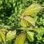 Laurent  DELATTRE  - Rubus ulmifolius Schott [1818]