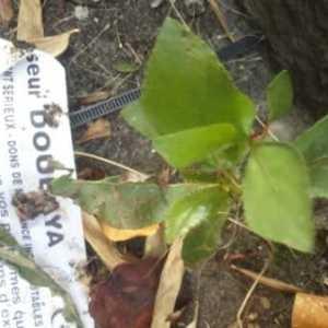Photographie n°2206932 du taxon Populus nigra L.