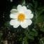 Joffrey CHAMBOLE - Rosa corymbifera Borkh.
