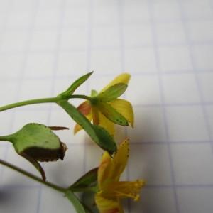Photographie n°2207169 du taxon Hypericum humifusum L. [1753]