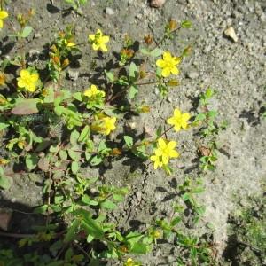 Photographie n°2207172 du taxon Hypericum humifusum L. [1753]