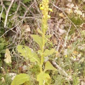 Photographie n°2207359 du taxon Verbascum thapsus L.