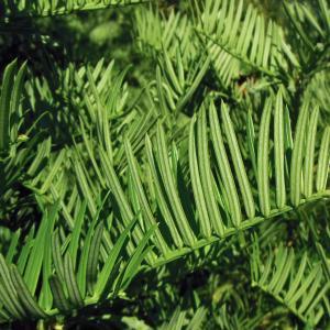 Cephalotaxus harringtonii (Knight ex J.Forbes) K.Koch