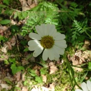 Photographie n°2207599 du taxon Tanacetum corymbosum (L.) Sch.Bip. [1844]