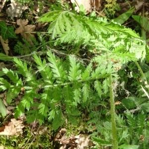 Photographie n°2207600 du taxon Tanacetum corymbosum (L.) Sch.Bip. [1844]