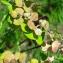 Claude Viquesnel - Euphorbia cyparissias L. [1753]