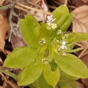 Photographie n°2207696 du taxon Galium odoratum (L.) Scop. [1771]