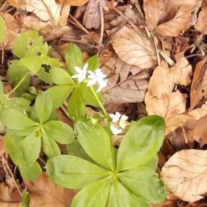 Photographie n°2207698 du taxon Galium odoratum (L.) Scop. [1771]