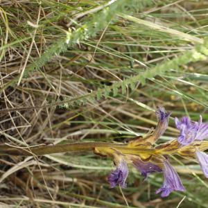 Photographie n°2207813 du taxon Phelipanche purpurea (Jacq.) Soják [1972]