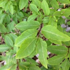 Photographie n°2208021 du taxon Lonicera nigra L. [1753]