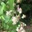 Juan-Carlos DAYOT - Rubus ulmifolius Schott [1818]