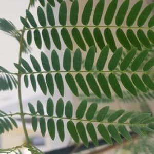 Photographie n°2208372 du taxon Leucaena leucocephala (Lam.) de Wit [1961]