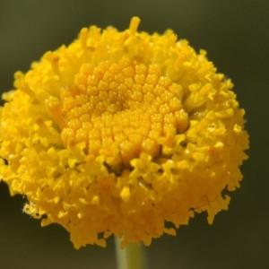 - Santolina rosmarinifolia L. [1753]