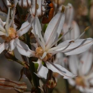 Photographie n°2208740 du taxon Asphodelus ramosus L. [1753]