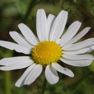 Photographie n°2208790 du taxon Tripleurospermum inodorum (L.) Sch.Bip. [1844]
