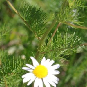 Photographie n°2208791 du taxon Tripleurospermum inodorum (L.) Sch.Bip. [1844]