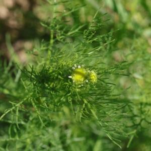 Photographie n°2208792 du taxon Tripleurospermum inodorum (L.) Sch.Bip. [1844]