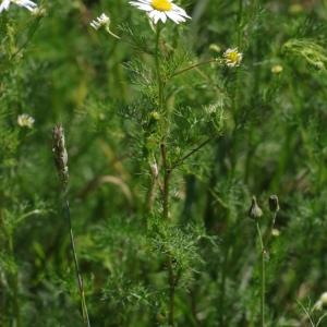 Photographie n°2208793 du taxon Tripleurospermum inodorum (L.) Sch.Bip. [1844]