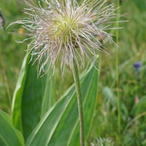 Photographie n°2209075 du taxon Anemone alpina subsp. apiifolia (Scop.) O.Bolòs & Vigo [1974]