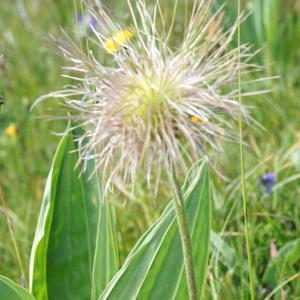 Photographie n°2209076 du taxon Anemone alpina subsp. apiifolia (Scop.) O.Bolòs & Vigo [1974]