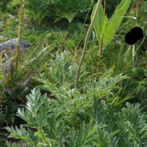 Photographie n°2209078 du taxon Anemone alpina subsp. apiifolia (Scop.) O.Bolòs & Vigo [1974]