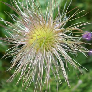 Photographie n°2209079 du taxon Anemone alpina subsp. apiifolia (Scop.) O.Bolòs & Vigo [1974]