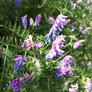 Photographie n°2209186 du taxon Vicia cracca L. [1753]