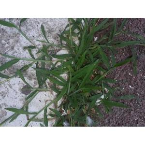 Minuartia recurva subsp. condensata (C.Presl) Greuter & Burdet (Minuartie condensée)