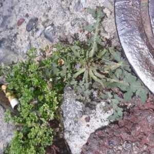 Photographie n°2209298 du taxon Leontodon saxatilis Lam. [1779]