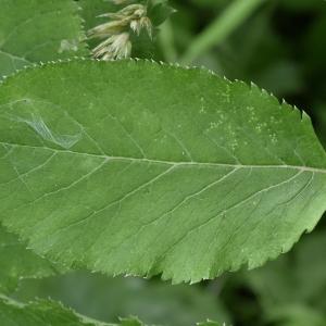 Photographie n°2209425 du taxon Angelica sylvestris L. [1753]