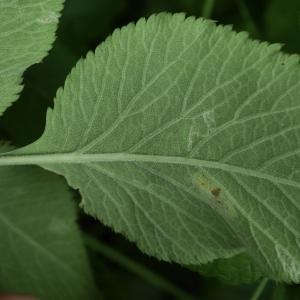 Photographie n°2209426 du taxon Angelica sylvestris L. [1753]