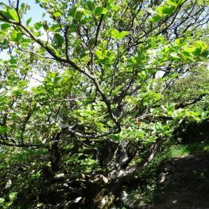 Photographie n°2209974 du taxon Fagus sylvatica L.