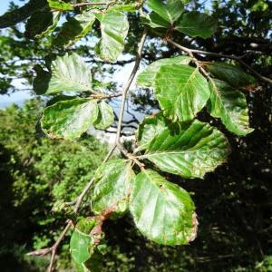 Photographie n°2209975 du taxon Fagus sylvatica L.