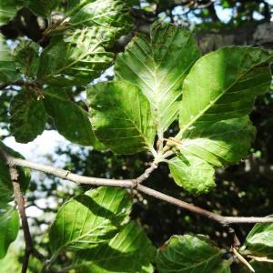 Photographie n°2209976 du taxon Fagus sylvatica L.