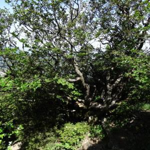Photographie n°2209978 du taxon Fagus sylvatica L.