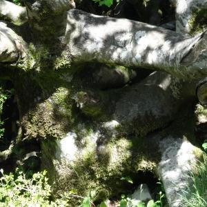 Photographie n°2209979 du taxon Fagus sylvatica L.