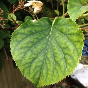 Photographie n°2210114 du taxon Hydrangea arborescens L. [1753]