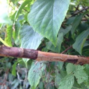 - Hydrangea arborescens L. [1753]