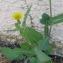 Sonchus oleraceus L. [nn65205] par Christine Jourdan le 04/07/2018 - Beaumont