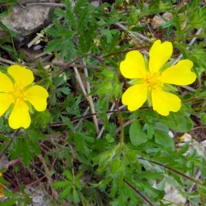 Photographie n°2210259 du taxon Potentilla L.